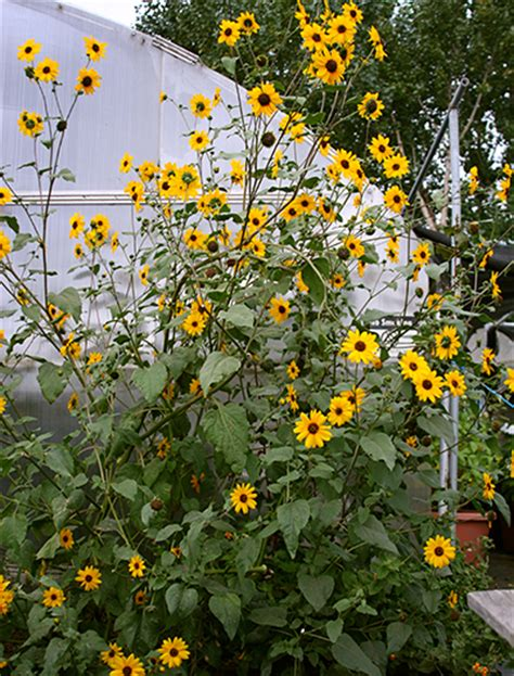 Helianthus annuus  Delta Sunflower    Buy Online at Annie ...