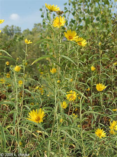 Helianthus maximilianii  Maximilian Sunflower : Minnesota ...
