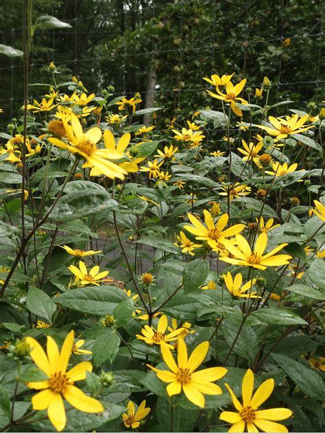 Helianthus strumosus / Paleleaf Woodland Sunflower – Wild ...