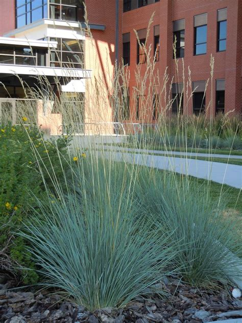 Helictotrichon Sempervirens, Blue Oat Grass: Great Drought ...