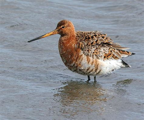 Help WWT save British breeding waders | surfbirds