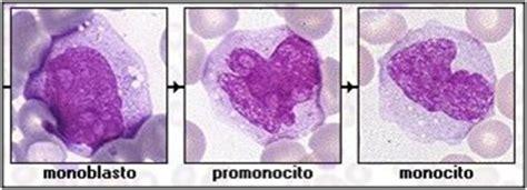 Hematologia Fichero USAC: Maduración de Monocitos