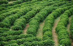 Herbicida obtém registro para a cultura do café