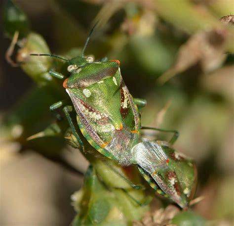 Heteroptera y Homoptera  chinches, cigarras, cicadas ...