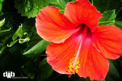Hibiscus aquí. Hibiscus Allá. | carlos.leal.jimenez