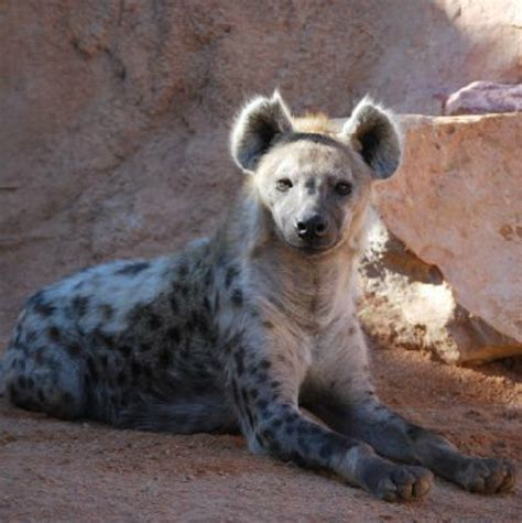Hiena manchada | Brown bear, Wildlife park, Polar bear