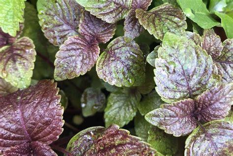 hierbas aromáticas Archivos   inNaturale