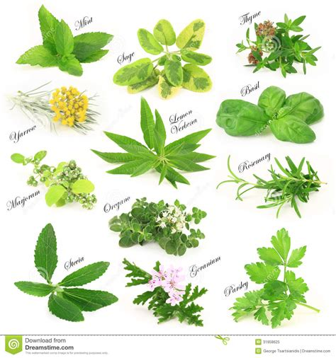 Hierbas aromáticas frescas