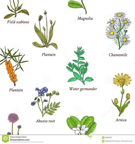 Hierbas Y Flores Medicinales Stock de ilustración ...