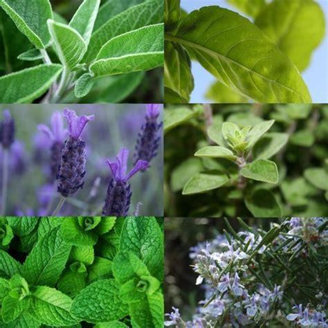 Hierbas y plantas aromáticas y medicinales para casa ...