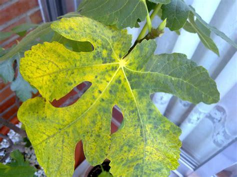 Higuera mala con hojas con manchas negras y secas