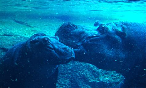 Hipopótamos   Bioparc Valencia 2012 | Hábitat natural ...