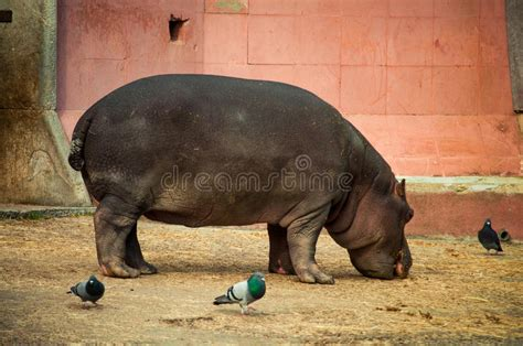 Hippo in Lisbon Zoo stock image. Image of animal, african ...