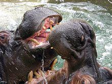 Hippopotamus amphibius   Wikipedia, la enciclopedia libre