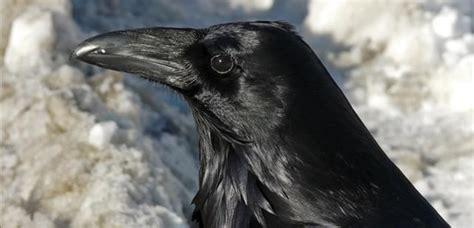 Historias de  Juego de tronos   7 : los cuervos de Odín