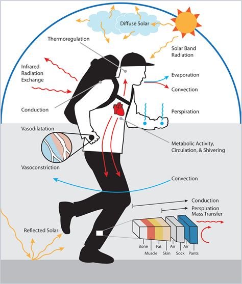 homeostasis: Thermoregulation