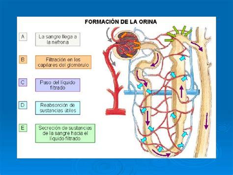 Homeostasis y función renal 2012