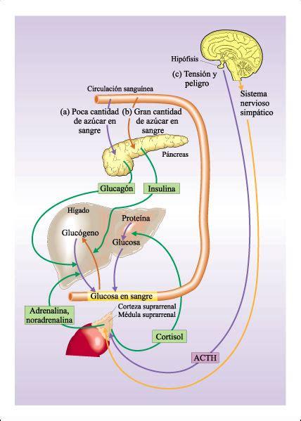 Hormonas y homeostasis