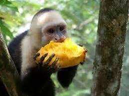 How are mango seeds dispersed?   Quora