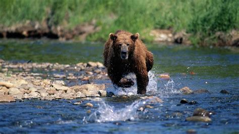 How Fast Can a Bear Run? | Reference.com