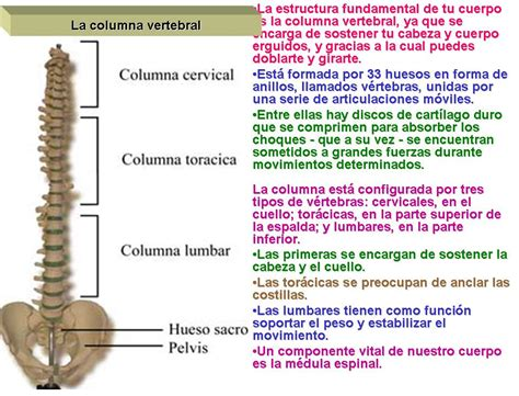 Huesos de la columna vertebral.   Sistema óseo.