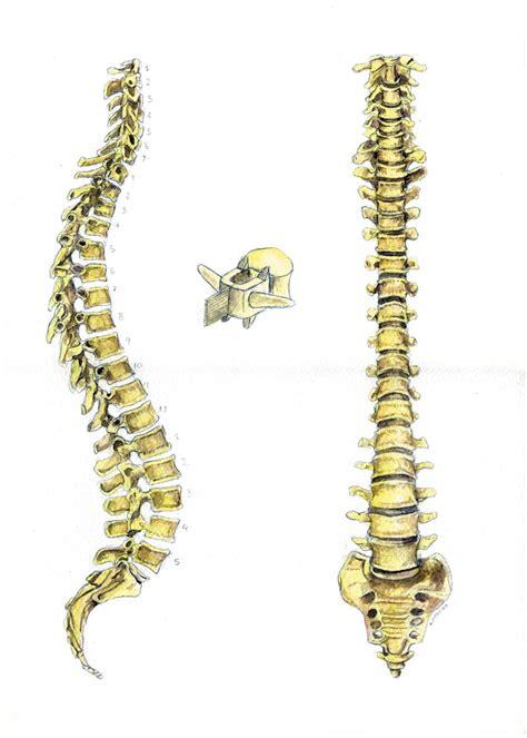 Huesos, Ilustración, columna vertebral, comprar cuadros ...