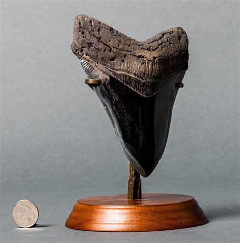 Huge Polished Megalodon Tooth for Sale   6 inches – Fossil ...
