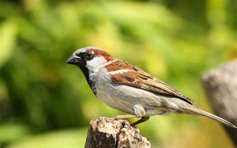Huismus  Passer domesticus    Birdsupply.nl