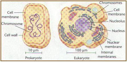 Human Biology Online Lab / Cytoplasm