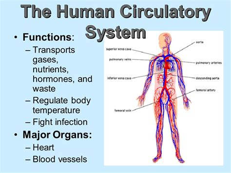 Human Circulatory System Parts And Functions >> Hasshe.Com