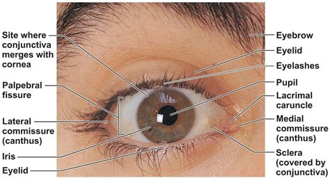 Human Eye Anatomy   Parts of the Eye and Structure of the ...