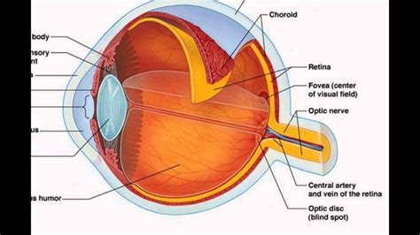 Human Eye Parts And Function   YouTube