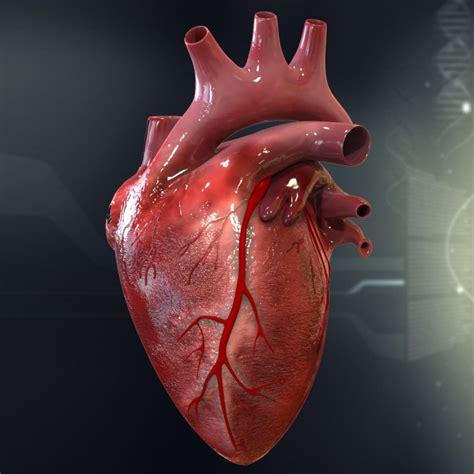 Human Heart Cutaway Anatomy 3d model   CGStudio