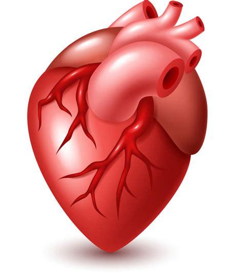 Human heart illustration | Premium Vector