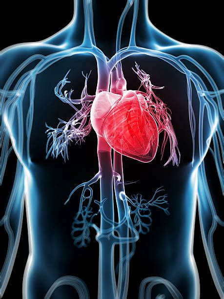 Human Heart Pictures, Images and Stock Photos   iStock