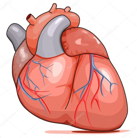 Human Heart — Stock Vector  rejects #3414271