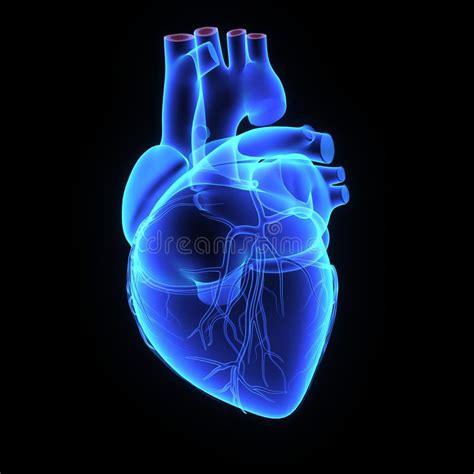 Human heart stock illustration. Illustration of internal ...