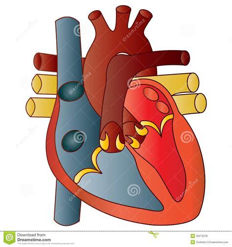 Human Heart stock vector. Illustration of atrium, heart ...
