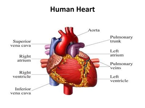 Human Heart: The Basic Info that You must Know ...