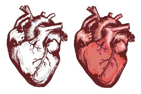 Human Heart Vectors, Photos and PSD files | Free Download
