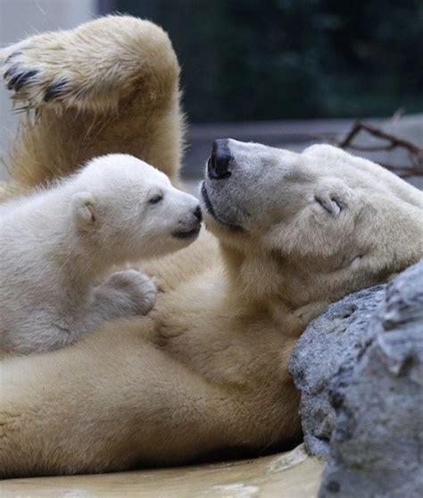 I love me my polar bears!   Animales carnivoros, Animales ...