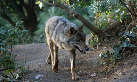 Iberian wolf | Drupal