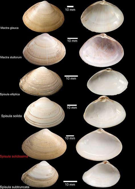 ID Keys | Marine Bivalve Shells of the British Isles