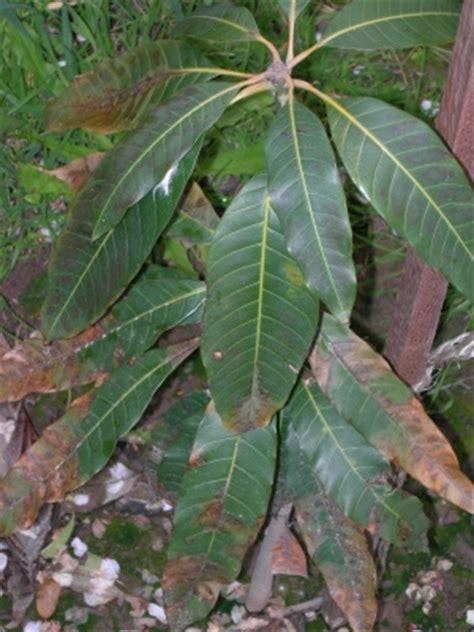Identificar mal de hojas mango
