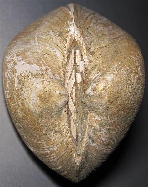 Idonearca vulgaris  fossil bivalve   Coon Creek Formation ...