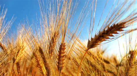 Il grano duro: caratteristiche e storia della farina ...