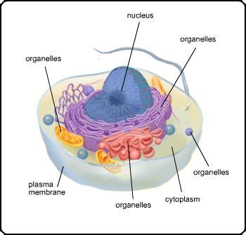 Illustration of a eukaryotic cell with plasma membrane ...