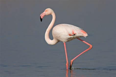 Image   Flamingo Camargue 2 Mar 09 900.jpg   The Parody ...