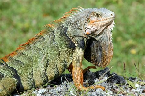Image   Reptiles 04.jpg   Proiect reptile Wiki