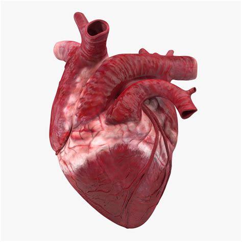 Image result for heart real  com imagens  | Coração humano ...
